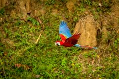 Red parrot in flight. Macaw flying, green vegetation in background. Red and green Macaw in tropical forest. Peru, Wildlife scene from tropical nature stock photography