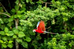 Red parrot in flight. Macaw flying, green vegetation in background. Red and green Macaw in tropical forest. Peru, Wildlife scene from tropical nature royalty free stock image