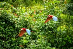 Red parrot in flight. Macaw flying, green vegetation in background. Red and green Macaw in tropical forest. Peru, Wildlife scene from tropical nature royalty free stock photo