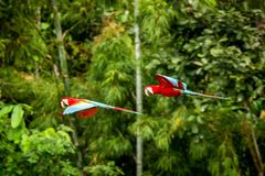 Red parrot in flight. Macaw flying, green vegetation in background. Red and green Macaw in tropical forest. Peru, Wildlife scene from tropical nature stock photos