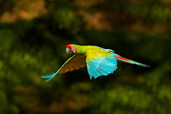 Red parrot in fly. Great Green Macaw, Ara ambigua, in tropical forest, Costa Rica, Wildlife scene from tropic nature. Blue and gre Stock Photos