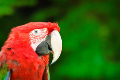 Red Parrot with Green Background Royalty Free Stock Photo