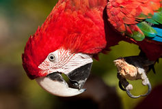 Red Parrot inspecting its claws sitting on a branc Stock Photography