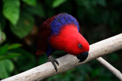 Red parrot look Royalty Free Stock Photography