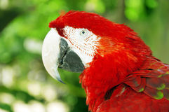 Red parrot or macaw Royalty Free Stock Photos