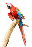 Red parrot macaw Royalty Free Stock Photo