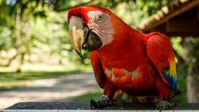 Red Parrot / Macaw in Macaw Mountain Bird Park Stock Image
