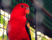RED PARROT. Parrots, also known as psittacines are birds of the roughly 372 species in 86 genera that make up the order Psittaciformes,[4] found in most tropical Stock Images