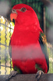 RED PARROT. Parrots, also known as psittacines are birds of the roughly 372 species in 86 genera that make up the order Psittaciformes,[4] found in most tropical Stock Image
