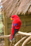 Red Parrot Royalty Free Stock Image