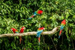 Red parrot in perching on branch, green vegetation in background. Red and green Macaw in tropical forest, Peru, Wildlife scene. From tropical nature. Beautiful royalty free stock photos