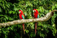 Red parrot in perching on branch, green vegetation in background. Red and green Macaw in tropical forest, Peru, Wildlife scene. From tropical nature. Beautiful stock image