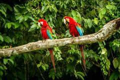 Red parrot in perching on branch, green vegetation in background. Red and green Macaw in tropical forest, Peru, Wildlife scene. From tropical nature. Beautiful royalty free stock photography