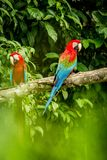 Red parrot in perching on branch, green vegetation in background. Red and green Macaw in tropical forest, Peru. Wildlife scene from tropical nature. Beautiful royalty free stock photography