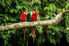 Red parrot in perching on branch, green vegetation in background. Red and green Macaw in tropical forest, Peru. Wildlife scene from tropical nature. Beautiful royalty free stock images