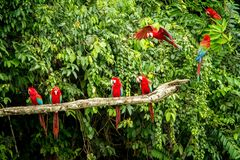 Red parrot in perching on branch, green vegetation in background. Red and green Macaw in tropical forest, Peru. Wildlife scene from tropical nature. Beautiful royalty free stock image