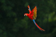 Red parrot in rain. Macaw parrot fly in dark green vegetation. Scarlet Macaw, Ara macao, in tropical forest, Costa Rica, Wildlife. Nature stock photography