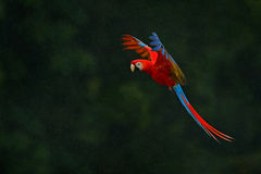 Red parrot in rain. Macaw parrot fly in dark green vegetation. Scarlet Macaw, Ara macao, in tropical forest, Costa Rica, Wildlife. Scene form nature Stock Photos