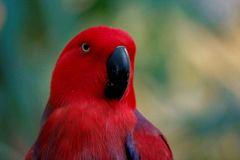 Red Parrot Side Portrait Head Shot stock image