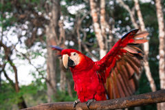 Red Parrot. A red parrot sits on a tree limb in Guatemala Stock Images
