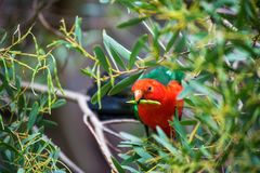 Red parrot sitting on a Branch of a Tree Surrounded by Green lea royalty free stock photos
