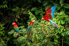 Red parrot sitting on branches and wathing another one in flight. Macaw flying, green vegetation in background. Red and green Macaw in tropical forest, Brazil stock photo