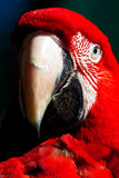 Red Parrot. Staring at you Stock Photography