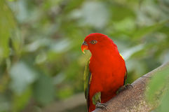 Red parrot on tree Royalty Free Stock Photos