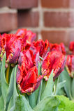 Red parrot tulips in bloom Stock Photography