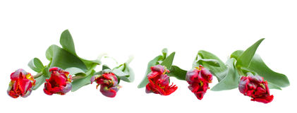 Red parrot tulips border Royalty Free Stock Image
