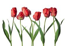 Red parrot tulips isolated on white background royalty free stock photos