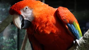 Red Parrot Wild Birds Royalty Free Stock Images