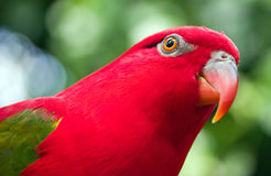 Red Parrot With Green Wings Stock Image
