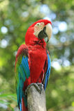 Red parrots Royalty Free Stock Image