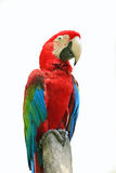 Red parrots. With blur background royalty free stock photography