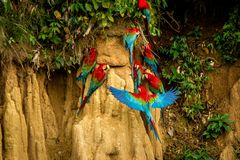 Red parrots on clay lick eating minerals, Red and green Macaw in tropical forest, Brazil, Wildlife scene from tropical nature royalty free stock photos