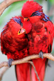 Red parrots. Parrots clung to each other, love bird Stock Photo
