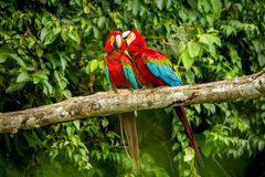 Red parrots grooming each other on branch, green vegetation in background. Red and green Macaw in tropical forest, Brazil,eWildlif. Red parrots grooming each stock photography