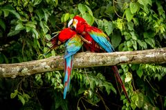 Red parrots grooming each other on branch, green vegetation in background. Red and green Macaw in tropical forest, Brazil,Wildlife. Red parrots grooming each stock photo