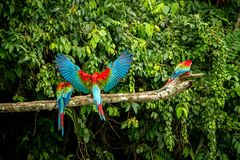 Red parrots landing on branch, green vegetation in background. Red and green Macaw in tropical forest, Peru. Wildlife scene from tropical nature. Beautiful royalty free stock photo