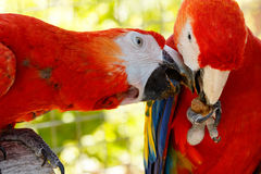 Red parrots in love. It is my nut you can not have it Lovers Tiff Stock Photos
