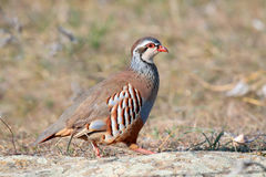 Red partridge wild Stock Image