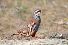 Red partridge wild Stock Image