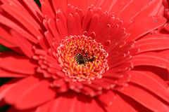 Red passion. Red blossom gerbera Stock Photos