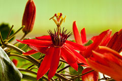 Red Passion Flower. Closeup Image of Bright Red Passion Flower Royalty Free Stock Photography