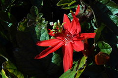Red Passion Flower Stock Image