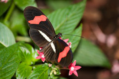 Red Passion Flower Butterfly. Heliconius erato Royalty Free Stock Images