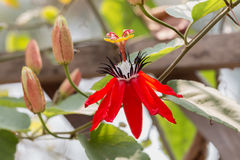 Red Passion Flower Royalty Free Stock Image