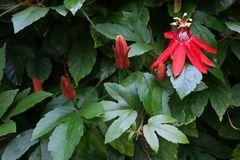Red passion flower with leaves after rain. stock image