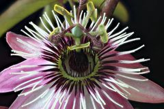 Red passionflower stock photography